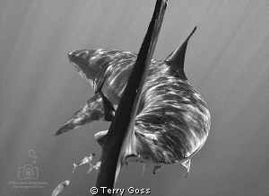 &quot;Talk to the Tail&quot; - a young white shark (Carcharodon car... by Terry Goss 